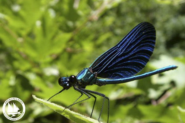 Beautiful Demoiselle_Calopteryx virgo