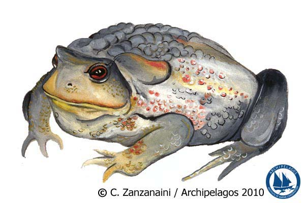 Bufo bufo spinosus_Common Toad_Illustration