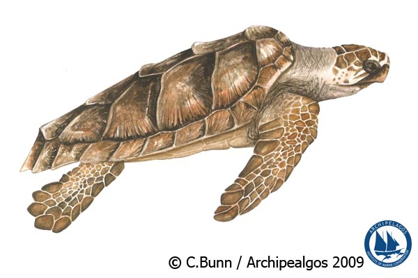 Illustration of Caretta caretta