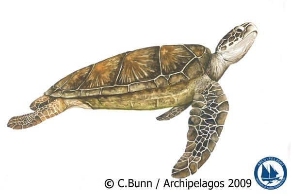 Chelonia mydas_Green Turtle