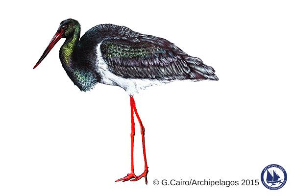 Ciconia nigra_Black stork_Gaia Cairo_2015