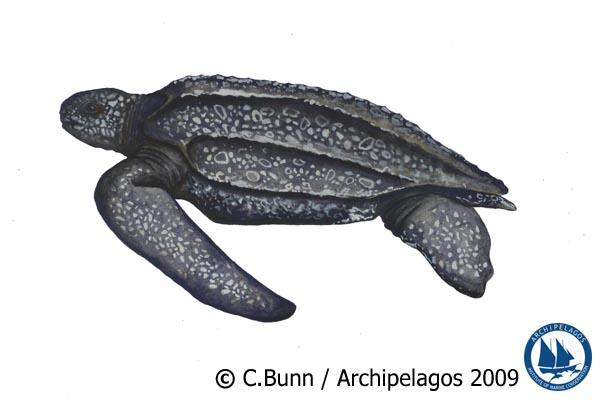 Demochelys coricea_Leatherback Turtle