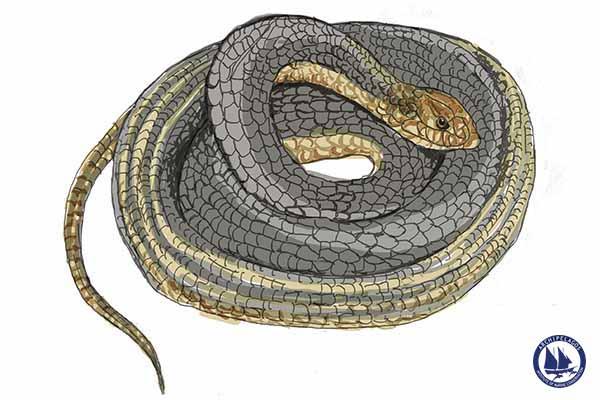 Dolichophis caspius_Caspian whipsnake