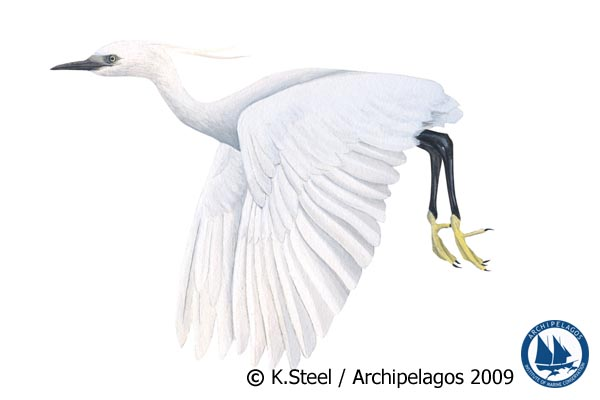 Illustration of Egretta garzetta the Little Egret