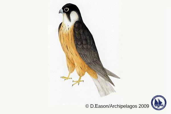 Falco eleonorae_Eleonora's falcon_D
