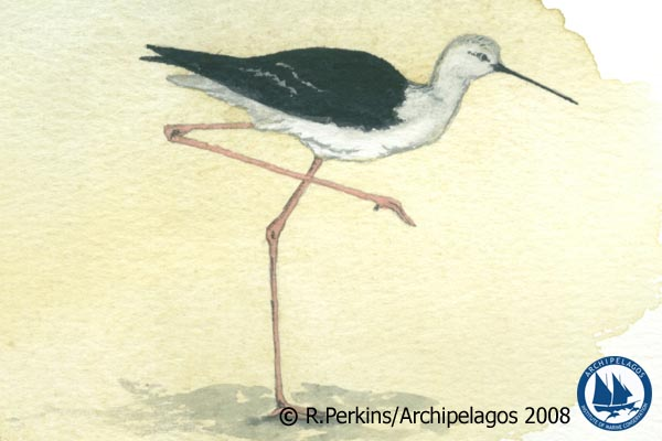 Illustration of Himantopus himantopus