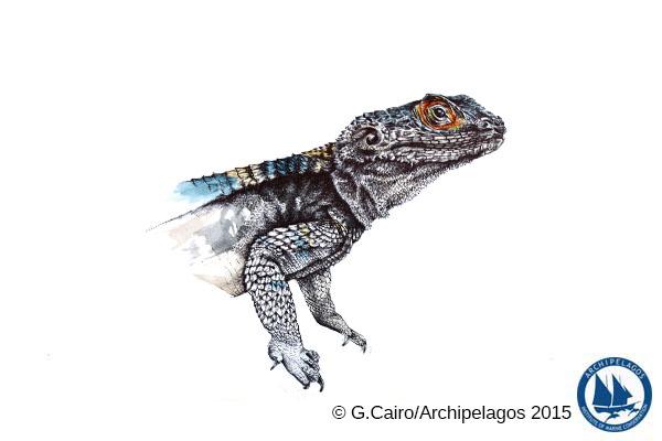 Bufo bufo spinosus_Common Toad_Illustration
