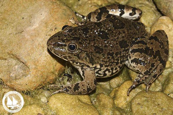Marsh Frog_Rana ridibunda