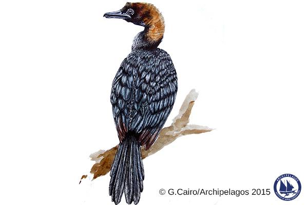 Microcarbo pygmeus_Pygmee cormorant_Gaia Cairo_2015