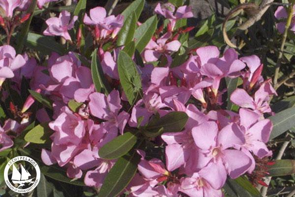 Oleander_Nerium oleander