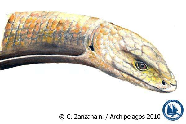 Ophisaurus apodus_European Glass Lizard
