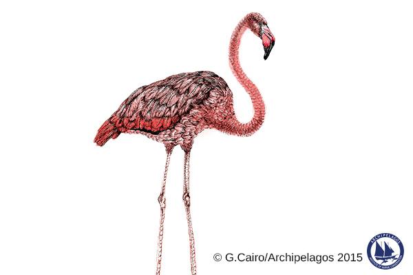 Phoenicopterus roseus_Greater flamingo_Gaia Cairo_2015
