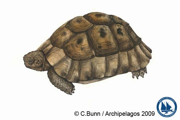 Testudo graeca_Spur Thighed Tortoise_Illustration