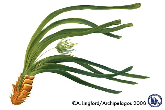Posidonia_illustration