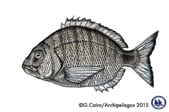 fish_illustration