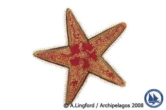 starfish_illustration