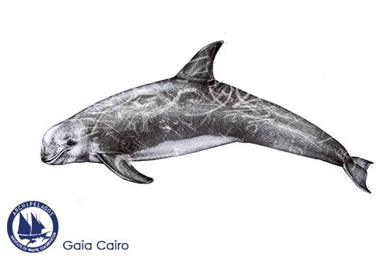 Risso's whale copy