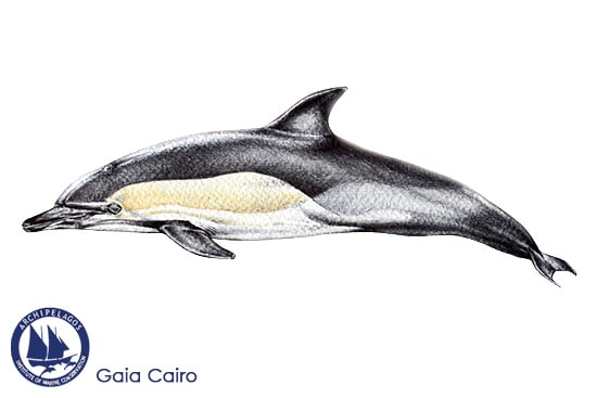 common dolphin short beaked copy