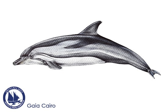 striped dolphin copy