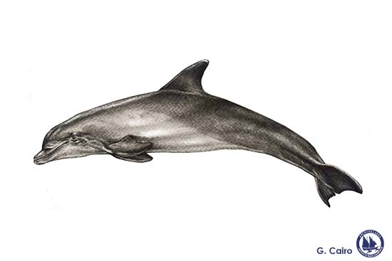 Common Bottlenose Dolphin Web