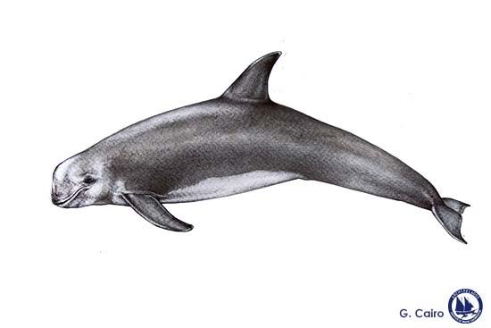Risso's Dolphin Web