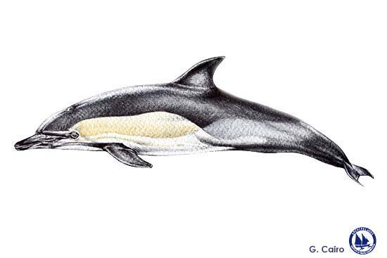 Short-beaked Common Dolphin Web