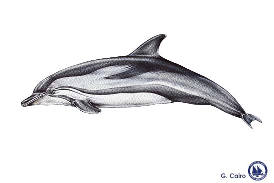 Striped Dolphin Web