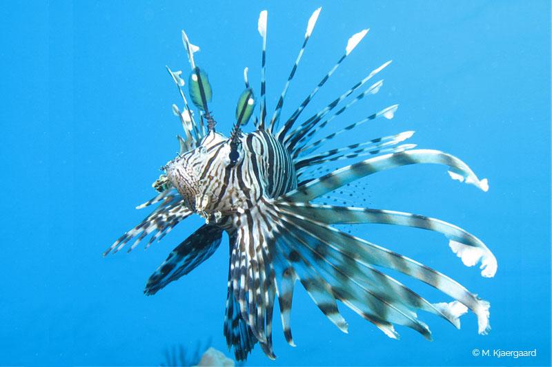 Pterois miles-ilustration