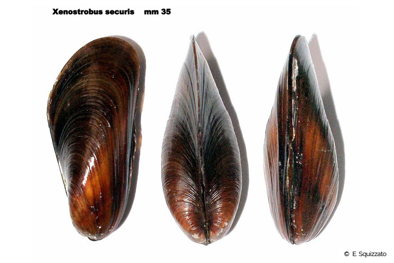 Xenostrobus securis-ilustration