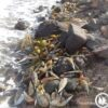Πίννα (Pinna nobilis) – Άλλο Ένα Θαλάσσιο Είδος Κοντά στον Αφανισμό