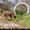 Happy ending to the rescue of a golden jackal!