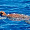 Sea turtles of the Aegean Sea