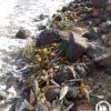 Νέες έρευνες για την οικολογική καταστροφή της Πίνας (Pinna nobilis)